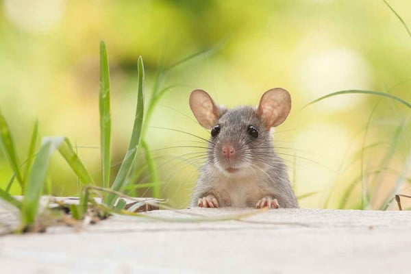 How to deter mice and rats from your home