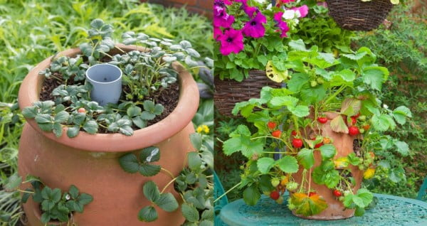 How to Make an Easy to Water Strawberry Pot