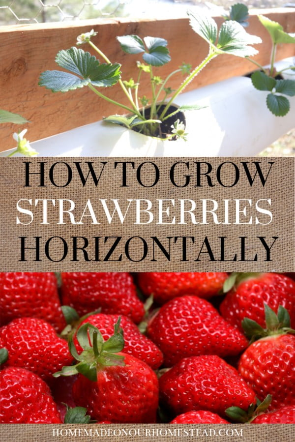 HOW TO GROW STRAWBERRIES HORIZONTALLY